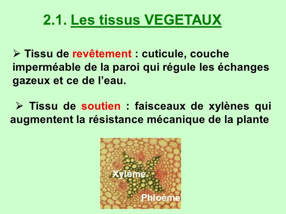 2.1. Les tissus VEGETAUX  Tissu de revêtement : cuticule, couche imperméable de la paroi qui régule les échanges gazeux et ce de l'eau.