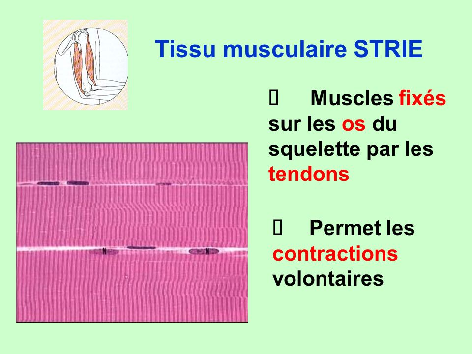 Tissu musculaire STRIE
