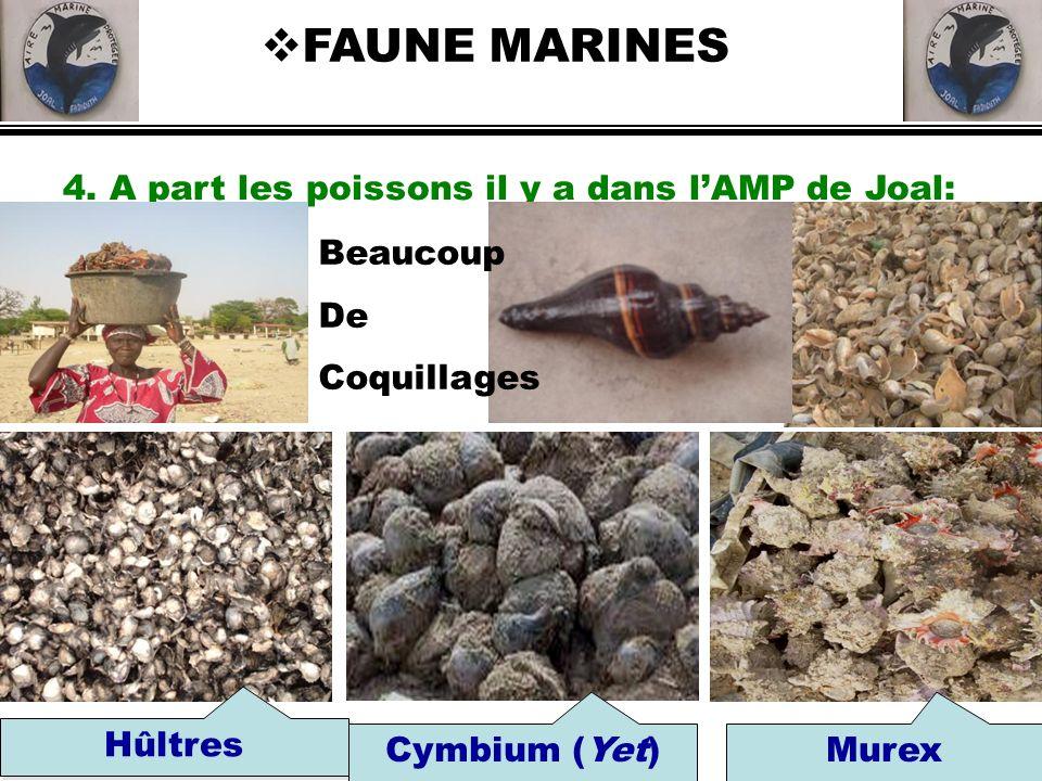 FAUNE MARINES Hûltres Cymbium (Yet) Murex
