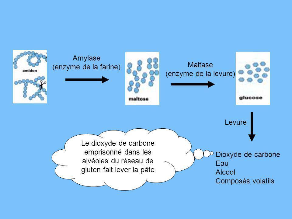 Amylase (enzyme de la farine) Maltase. (enzyme de la levure) Levure.