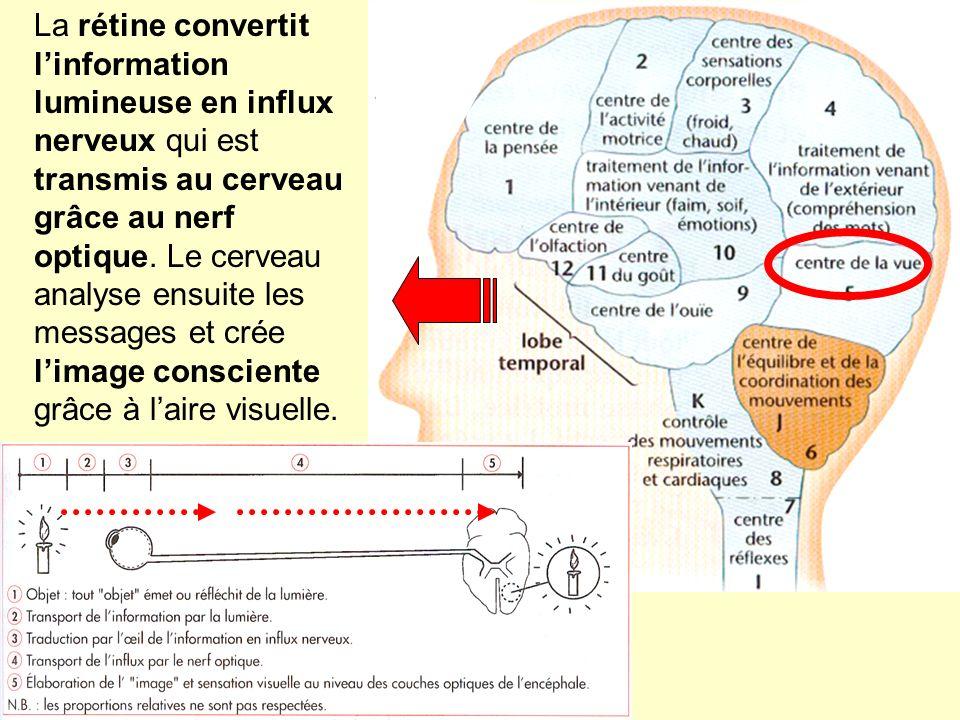 La rétine convertit l'information lumineuse en influx nerveux qui est transmis au cerveau grâce au nerf optique.