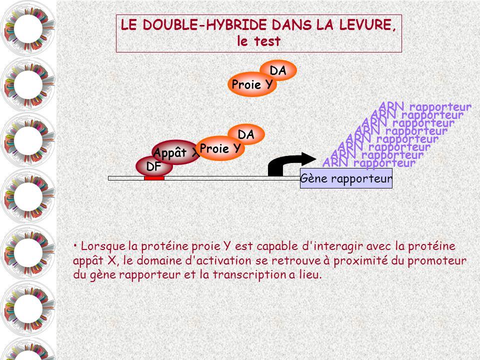 LE DOUBLE-HYBRIDE DANS LA LEVURE,