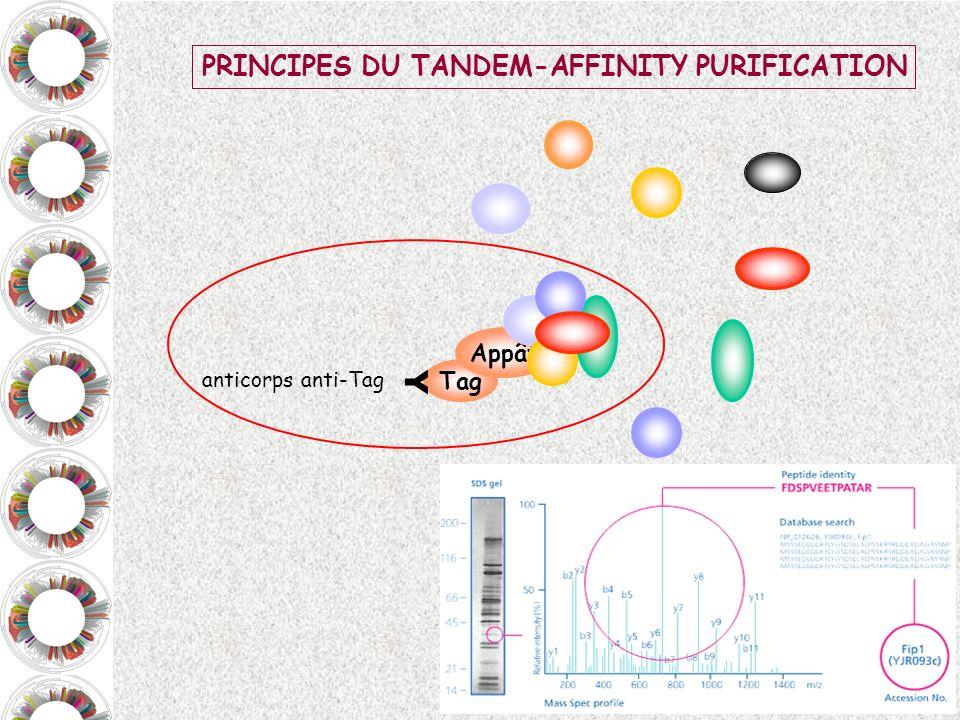 Y PRINCIPES DU TANDEM-AFFINITY PURIFICATION Appât Tag