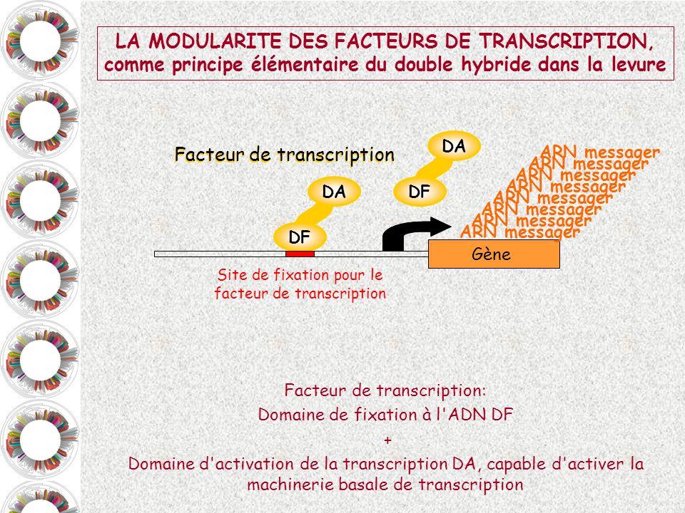 LA MODULARITE DES FACTEURS DE TRANSCRIPTION,