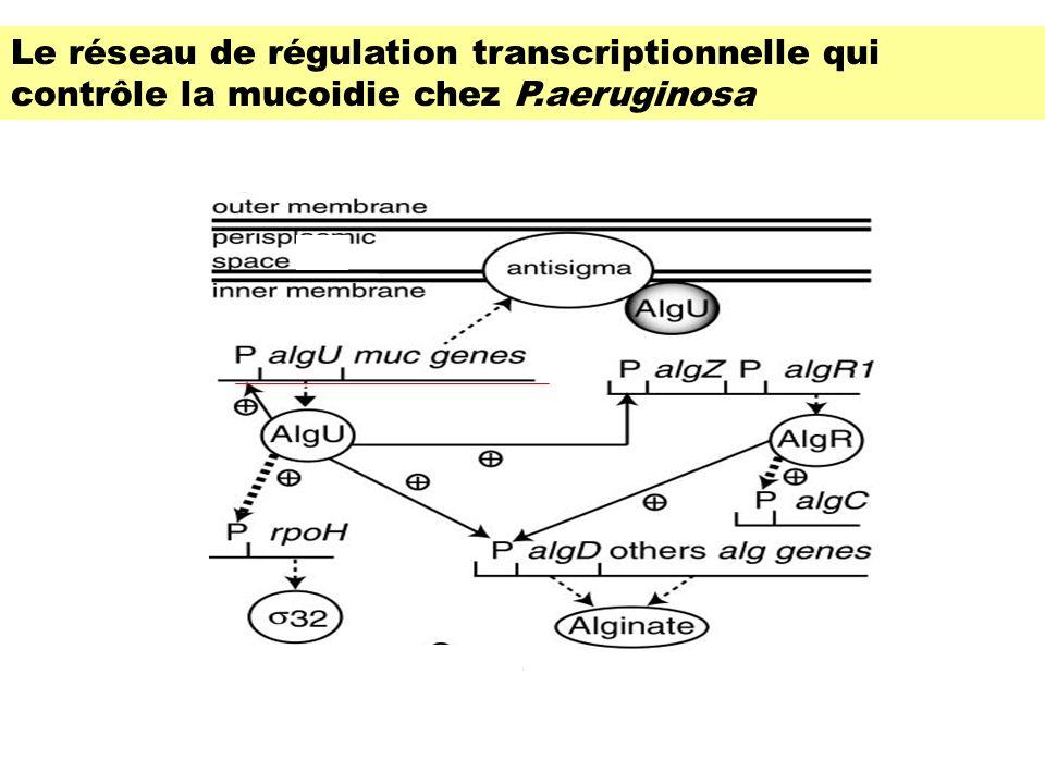 Le réseau de régulation transcriptionnelle qui contrôle la mucoidie chez P.aeruginosa