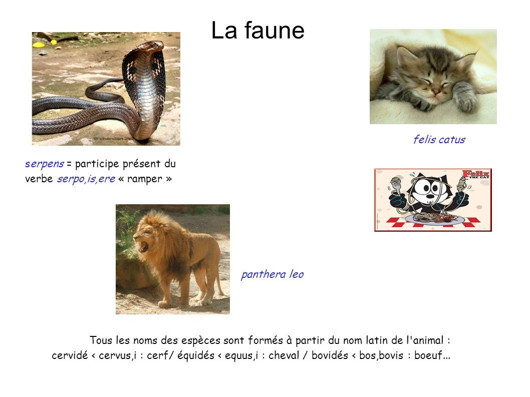 La faune felis catus. serpens = participe présent du verbe serpo,is,ere « ramper » panthera leo.