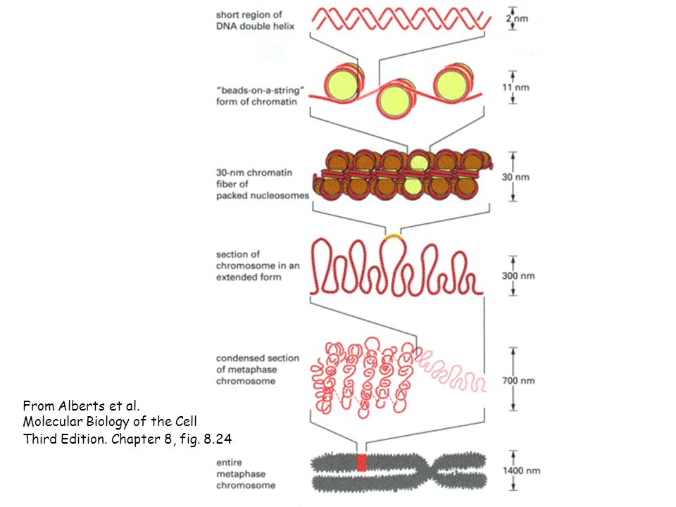 Molecular Biology of the Cell Third Edition. Chapter 8, fig. 8.24