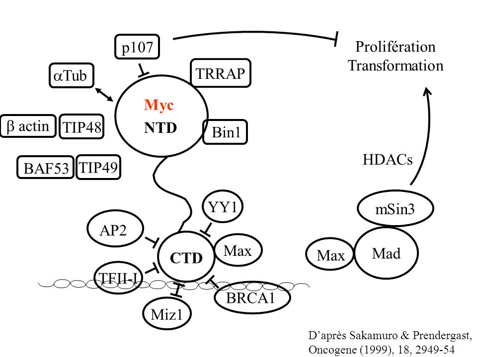 p107 Prolifération Transformation TRRAP aTub Myc b actin TIP48 NTD