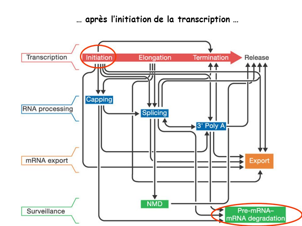 … après l'initiation de la transcription …