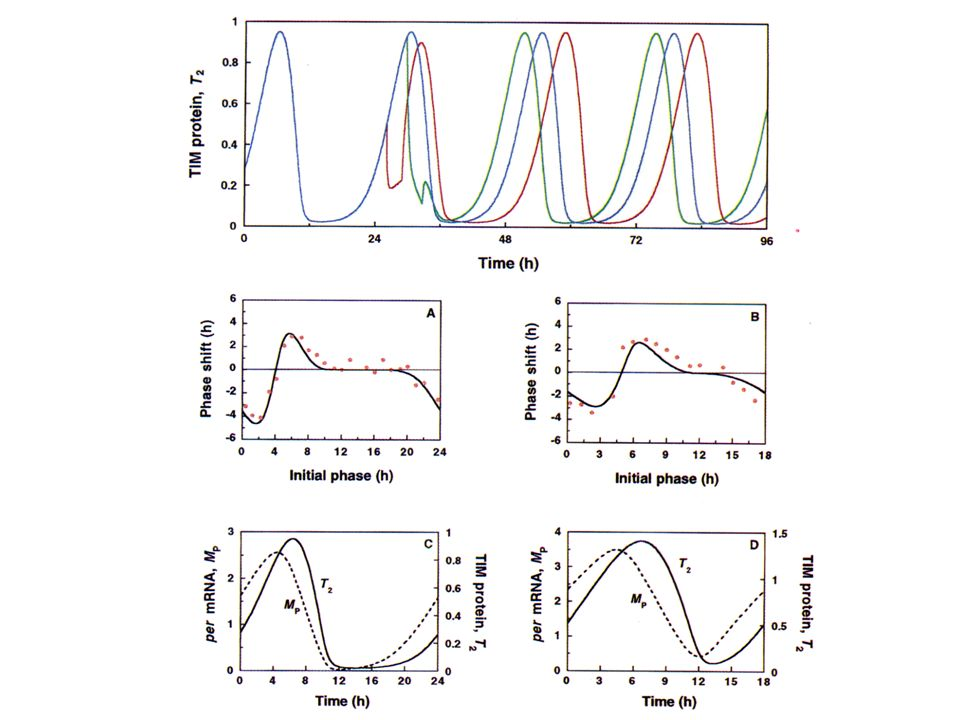 En haut, les courbes en bleu correspondent aux oscillations de la quantité de protéine TIM dans l'obscurité. En bas, on voit que les maxima pour l'ARN TIM précèdent les maxima pour les protéines TIM.