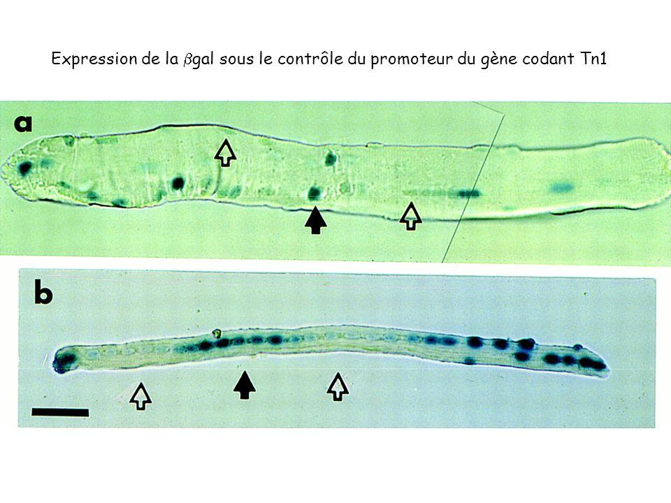 Expression de la bgal sous le contrôle du promoteur du gène codant Tn1