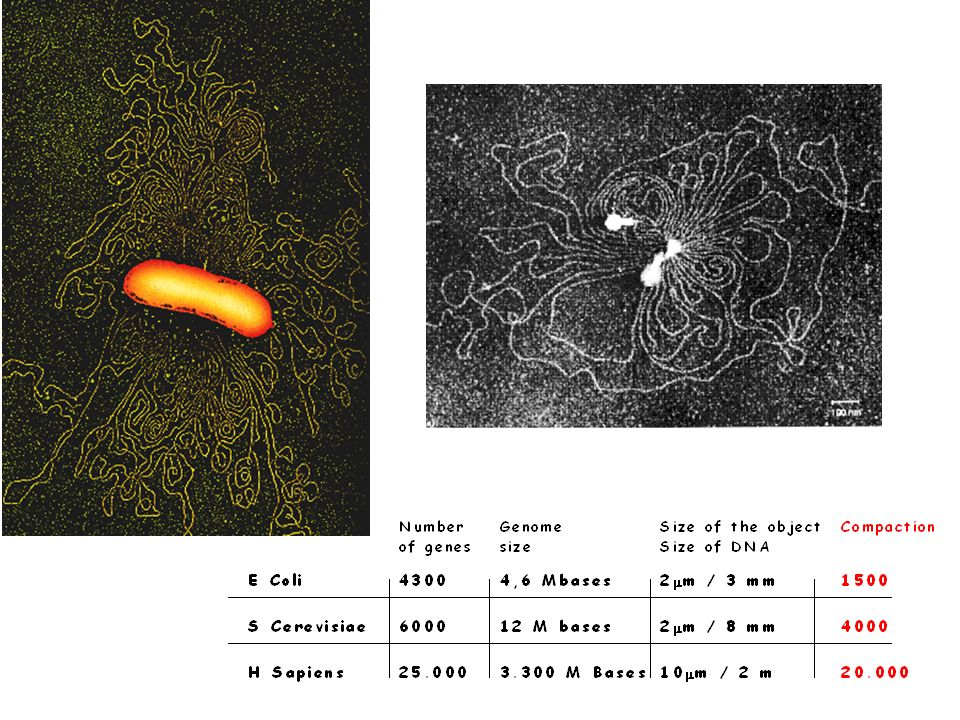 There are similar pictures obtained after lysis of a bacteria or a phage.