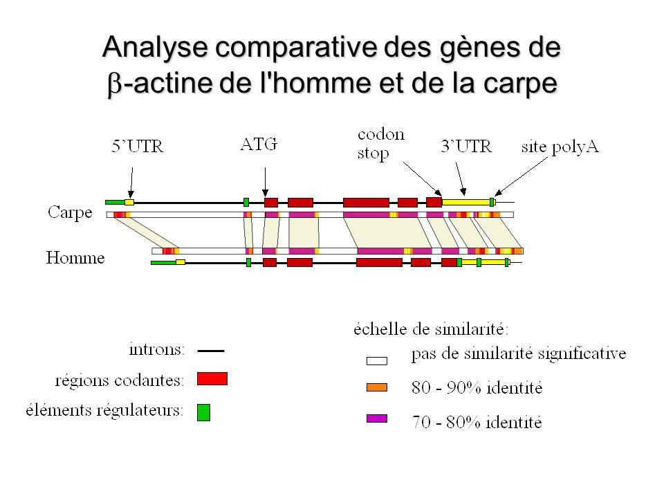 Analyse comparative des gènes de b-actine de l homme et de la carpe