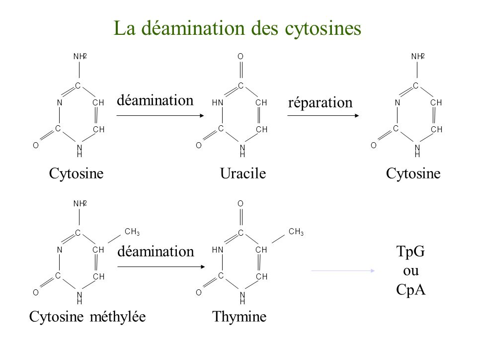 La déamination des cytosines
