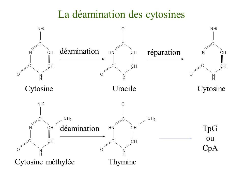 La déamination des cytosines