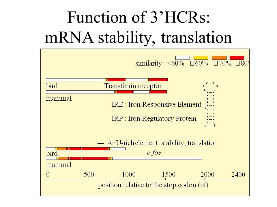 Function of 3'HCRs: mRNA stability, translation