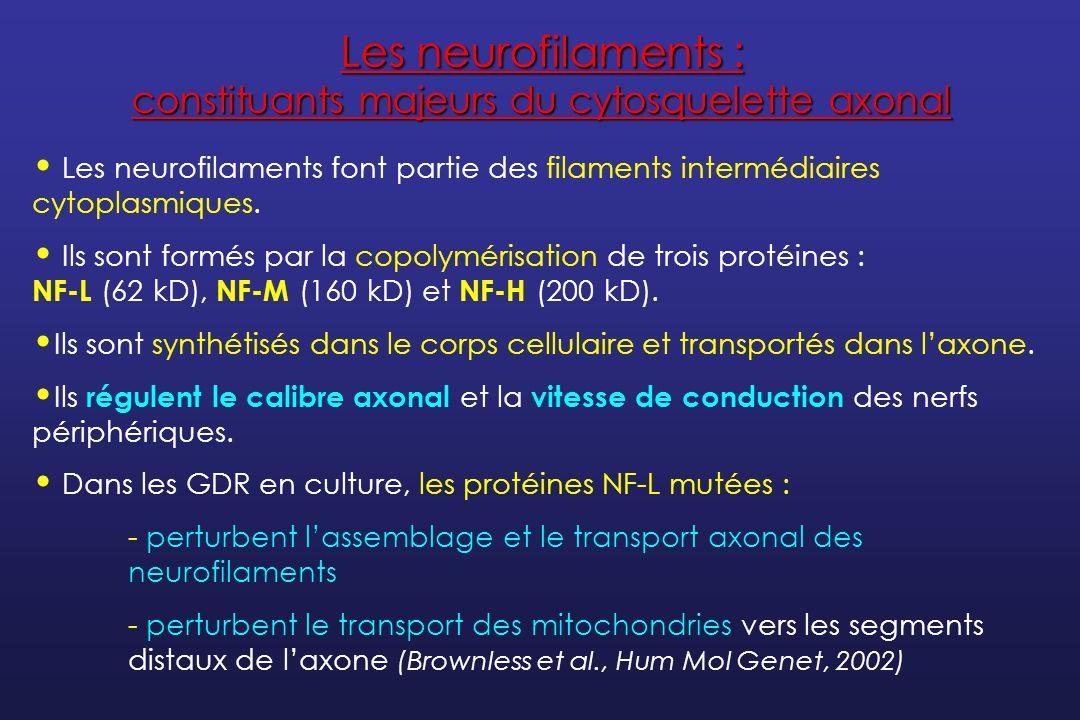 Les neurofilaments : constituants majeurs du cytosquelette axonal