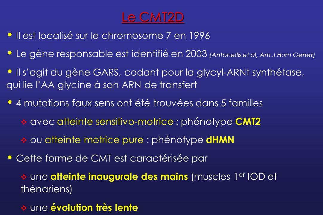 Le CMT2D Il est localisé sur le chromosome 7 en 1996