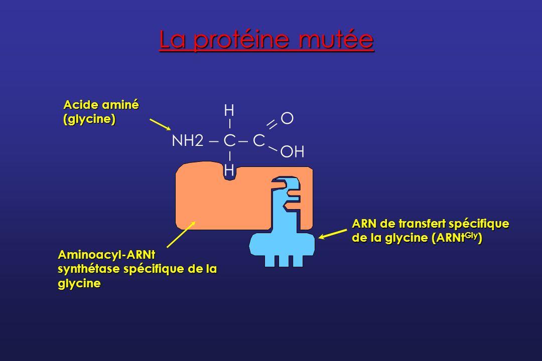 La protéine mutée _ NH2 C O H OH Acide aminé (glycine)