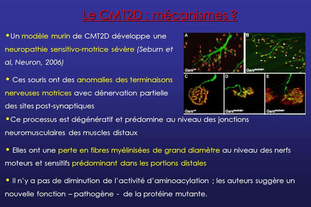 Le CMT2D : mécanismes Un modèle murin de CMT2D développe une neuropathie sensitivo-motrice sévère (Seburn et al, Neuron, 2006)