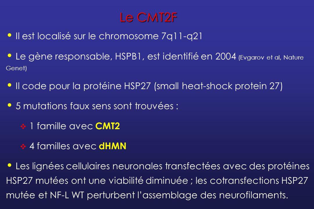 Le CMT2F Il est localisé sur le chromosome 7q11-q21