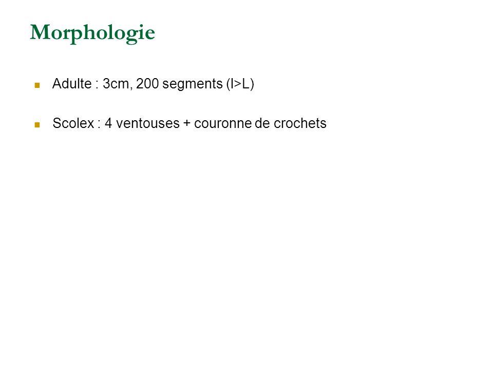 Morphologie Adulte : 3cm, 200 segments (l>L)
