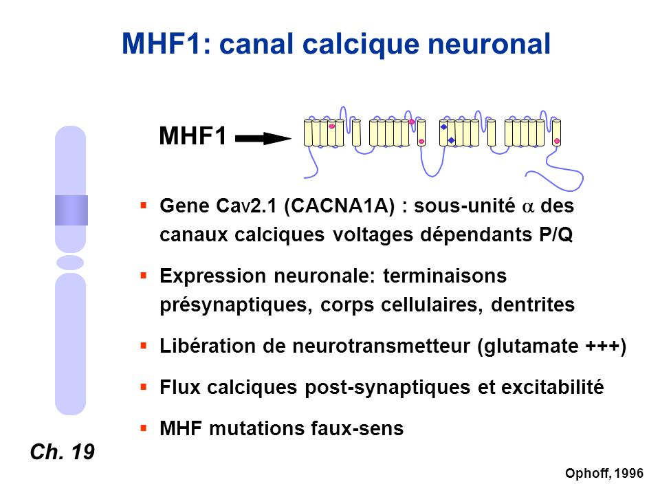 MHF1: canal calcique neuronal
