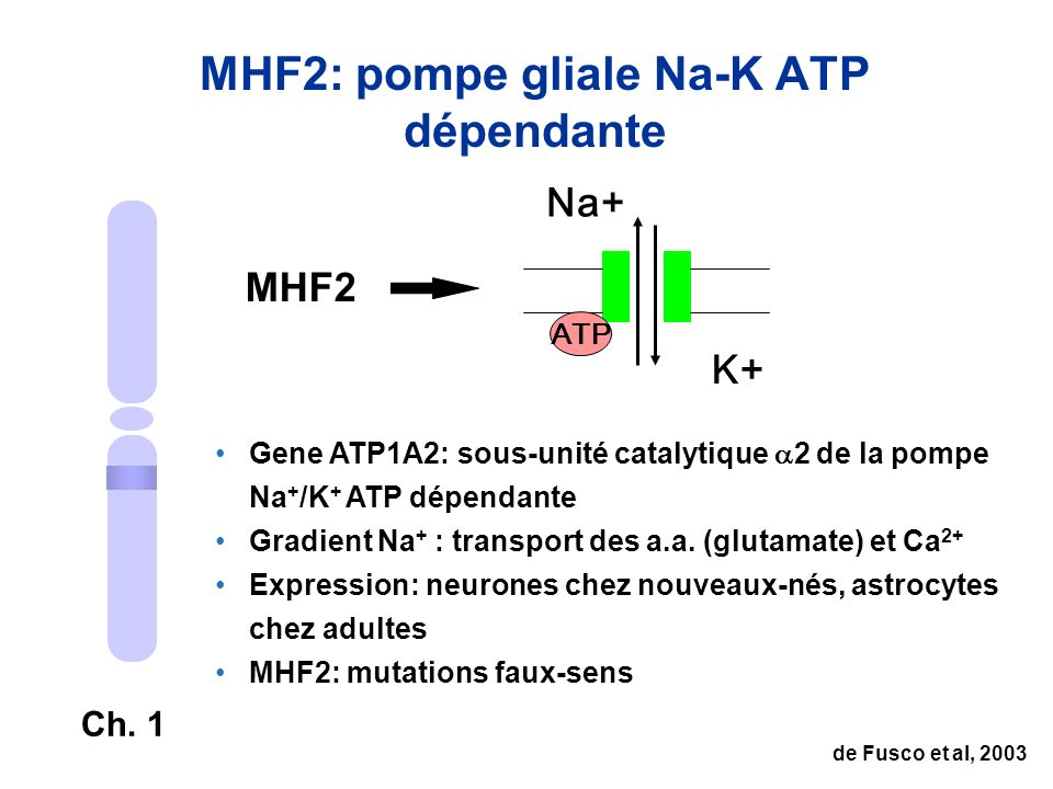 MHF2: pompe gliale Na-K ATP dépendante