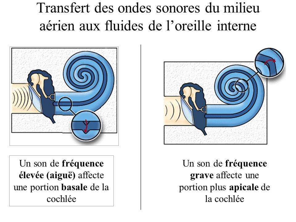 Transfert des ondes sonores du milieu aérien aux fluides de l'oreille interne