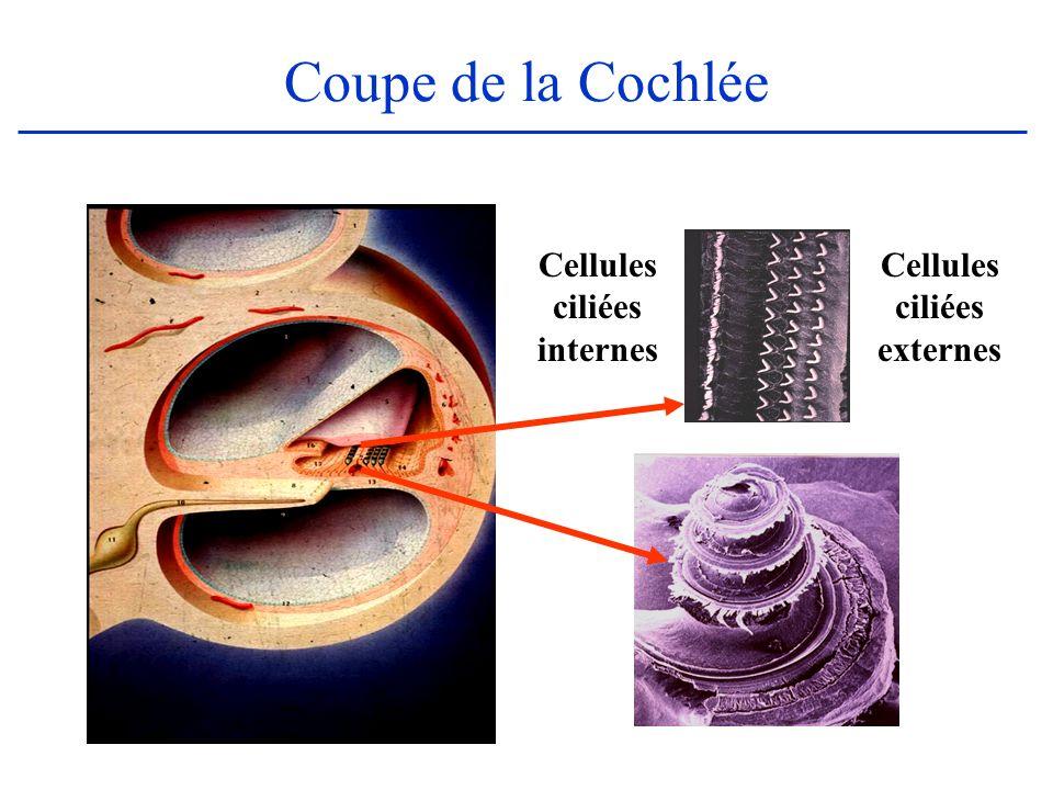 Coupe de la Cochlée Cellules ciliées internes Cellules ciliées