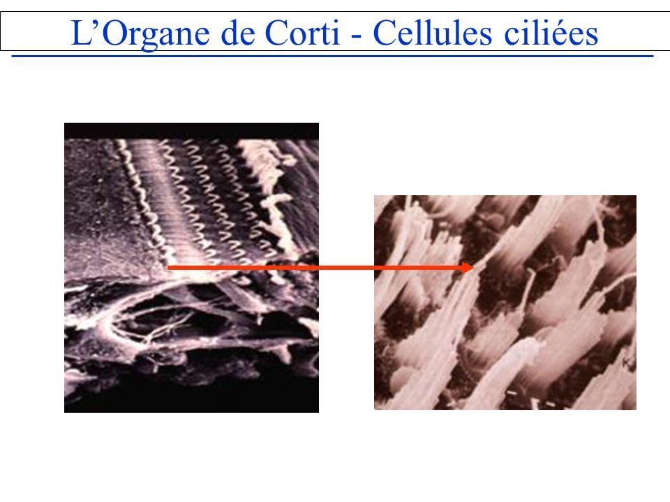 L'Organe de Corti - Cellules ciliées