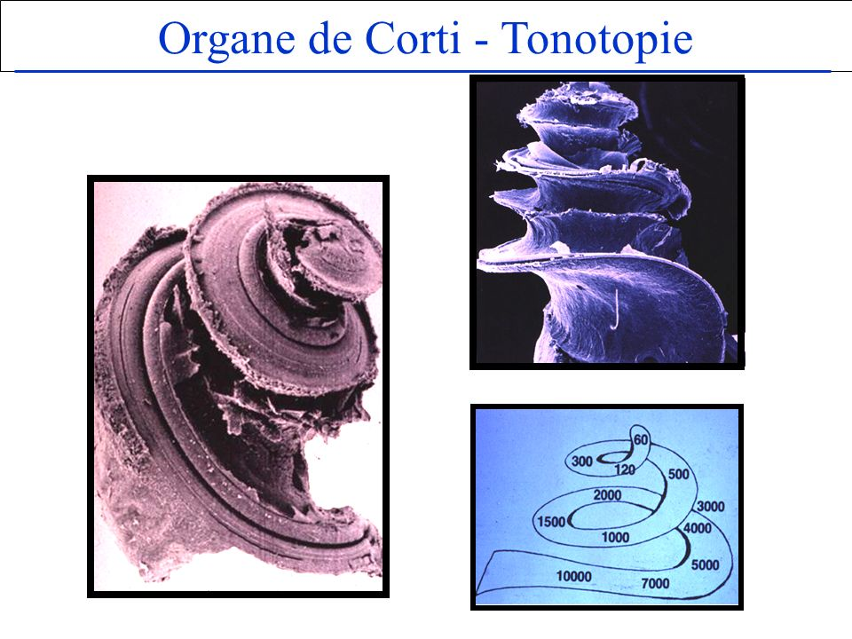 Organe de Corti - Tonotopie