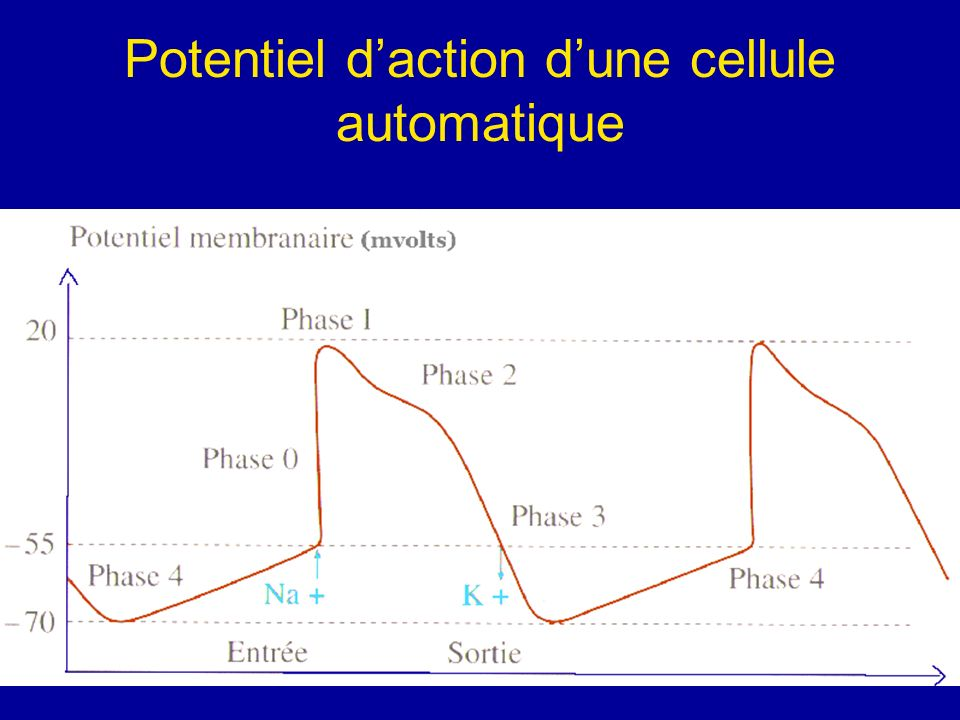 Potentiel d'action d'une cellule automatique