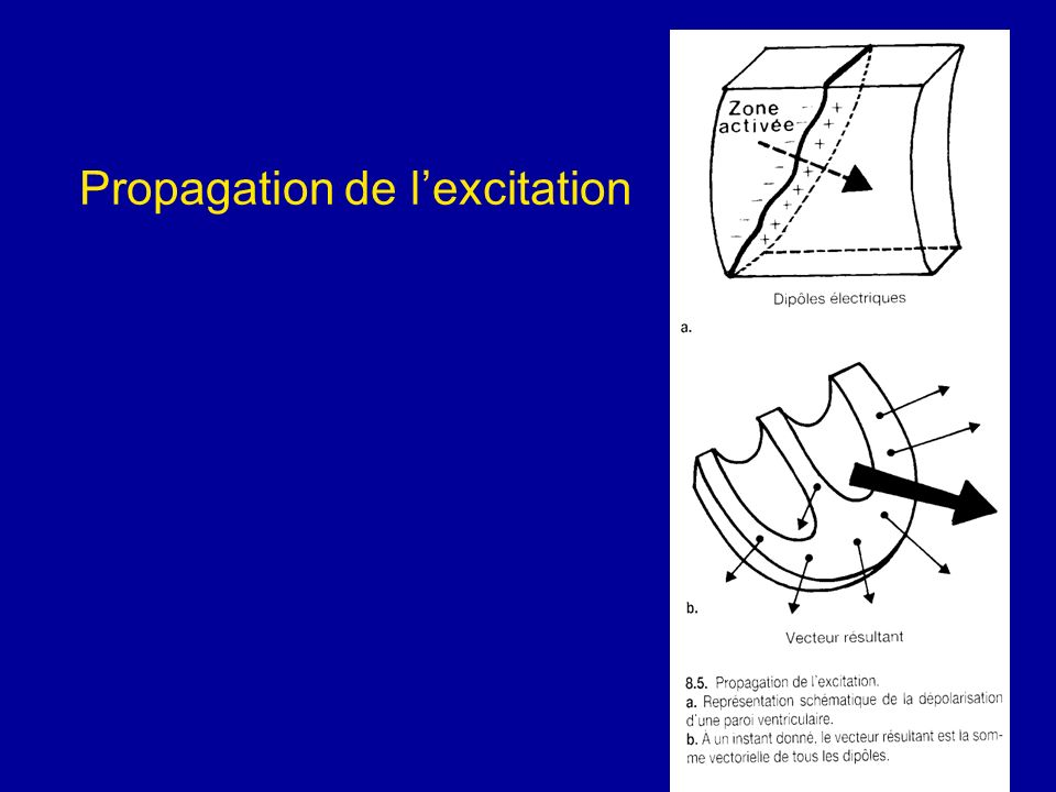 Propagation de l'excitation