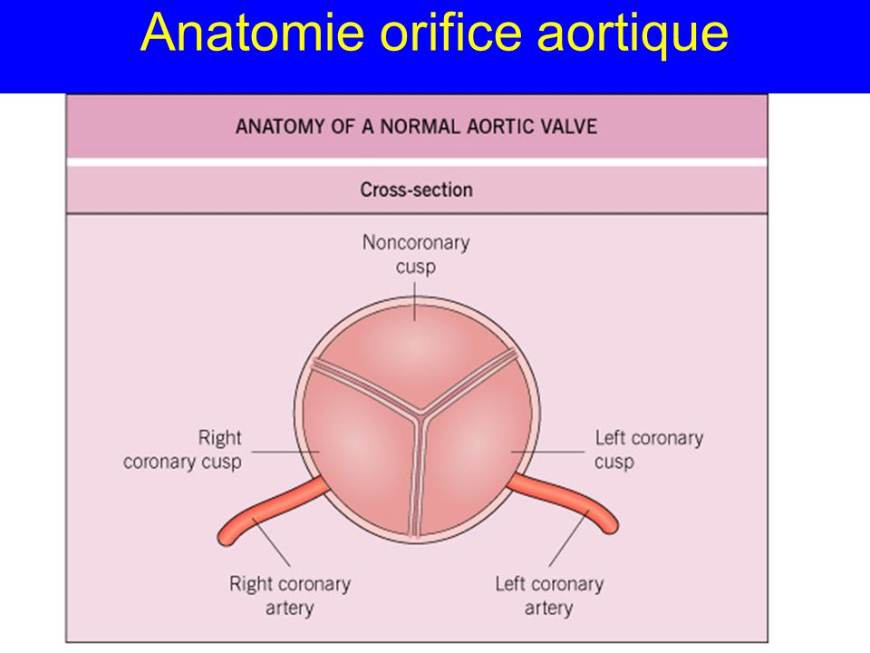 Anatomie orifice aortique