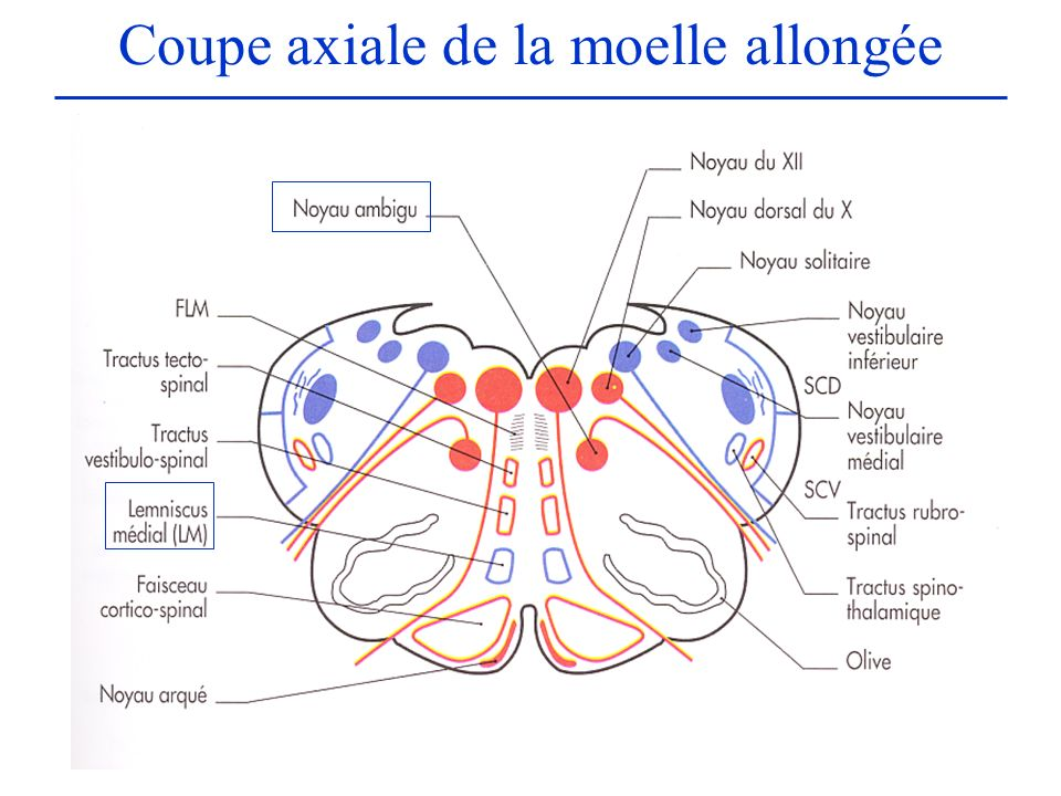 Coupe axiale de la moelle allongée