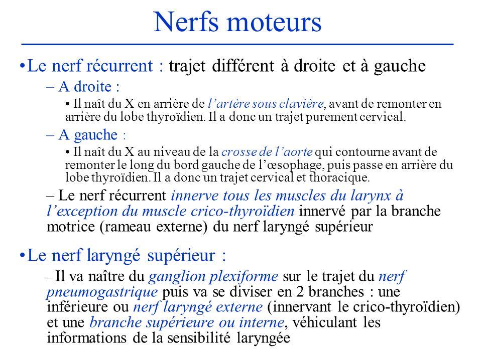 Nerfs moteurs Le nerf récurrent : trajet différent à droite et à gauche. A droite :