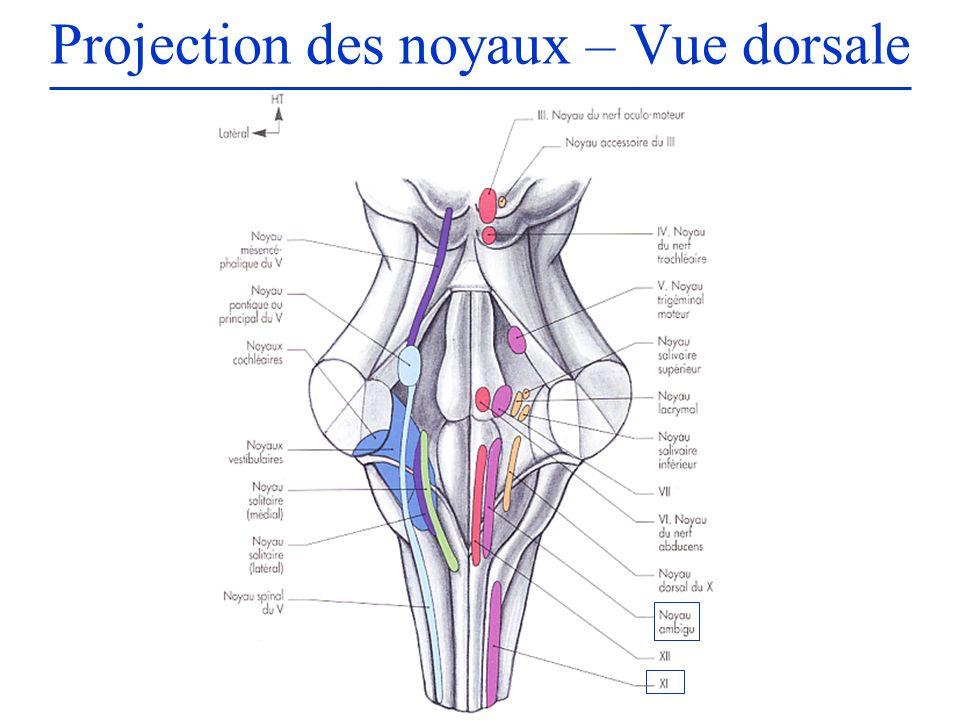 Projection des noyaux – Vue dorsale