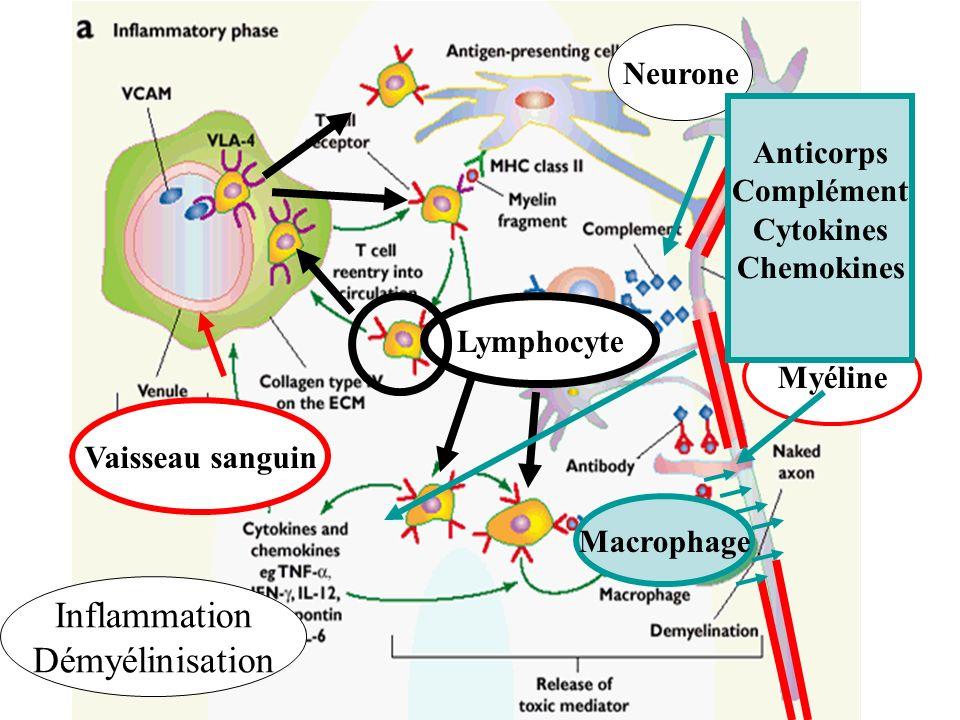 Inflammation Démyélinisation Neurone Anticorps Complément Cytokines