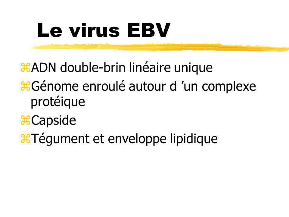 Le virus EBV ADN double-brin linéaire unique