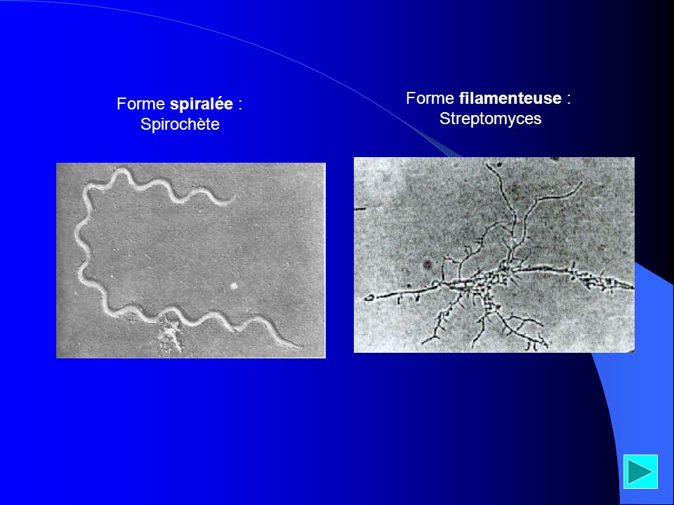Forme spiralée : Spirochète