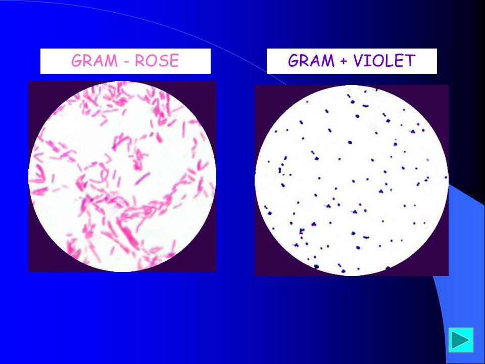 GRAM - ROSE GRAM + VIOLET