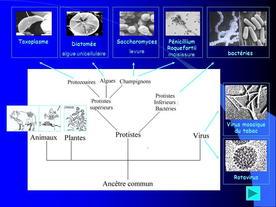 Saccharomyces Diatomée Rotavirus