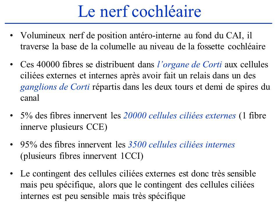 Le nerf cochléaire Volumineux nerf de position antéro-interne au fond du CAI, il traverse la base de la columelle au niveau de la fossette cochléaire.