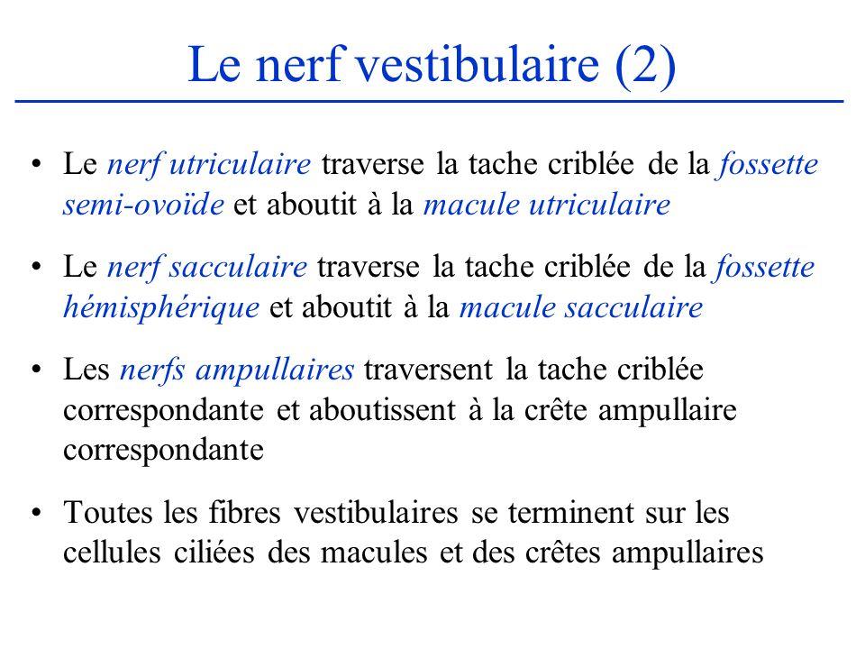 Le nerf vestibulaire (2)