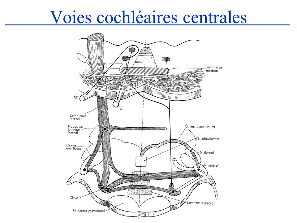Voies cochléaires centrales