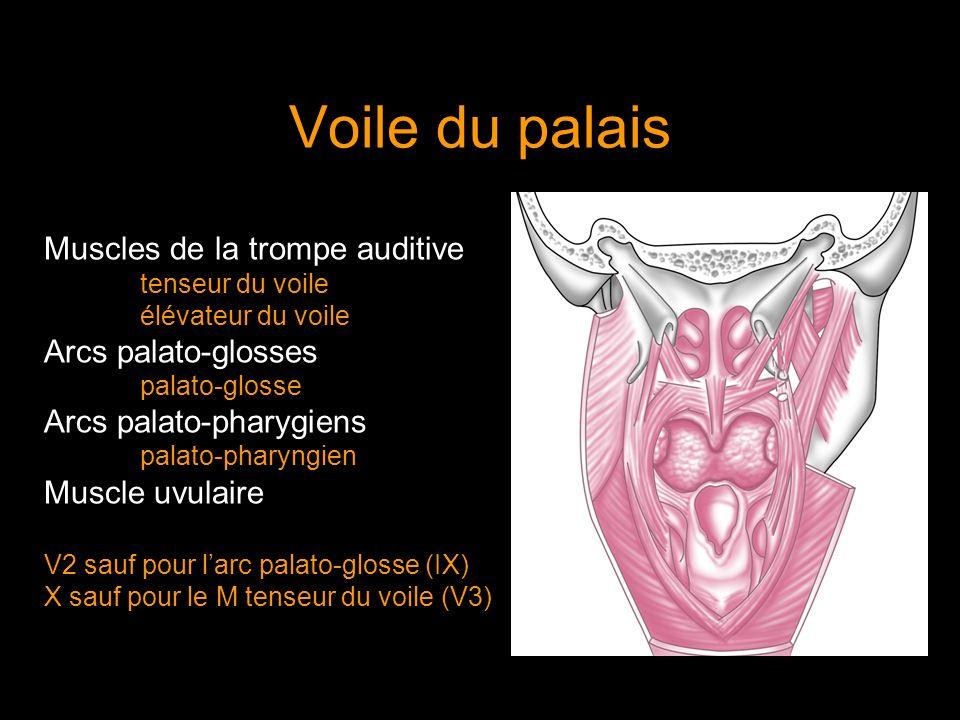 Voile du palais Muscles de la trompe auditive Arcs palato-glosses