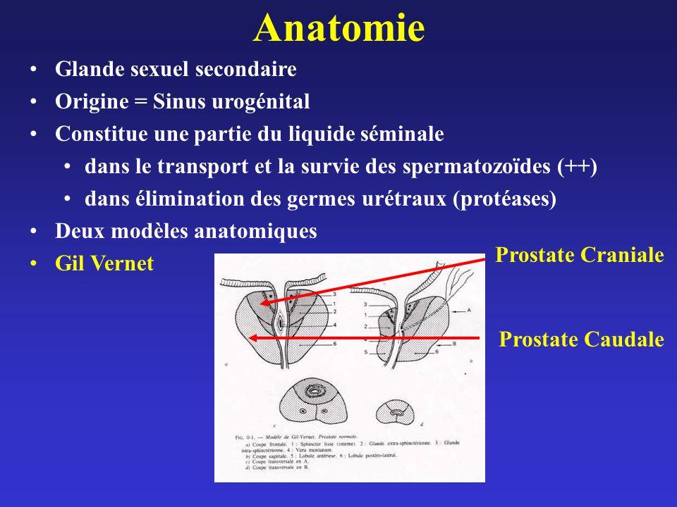 Anatomie Glande sexuel secondaire Origine = Sinus urogénital