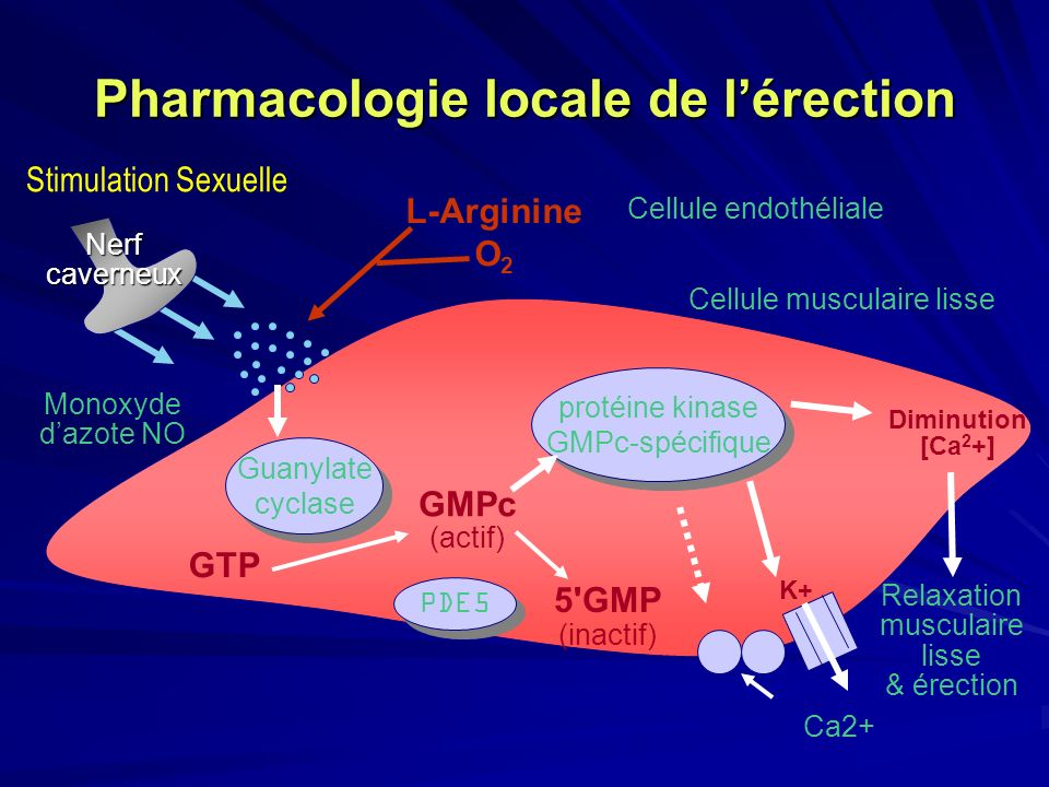 Pharmacologie locale de l'érection