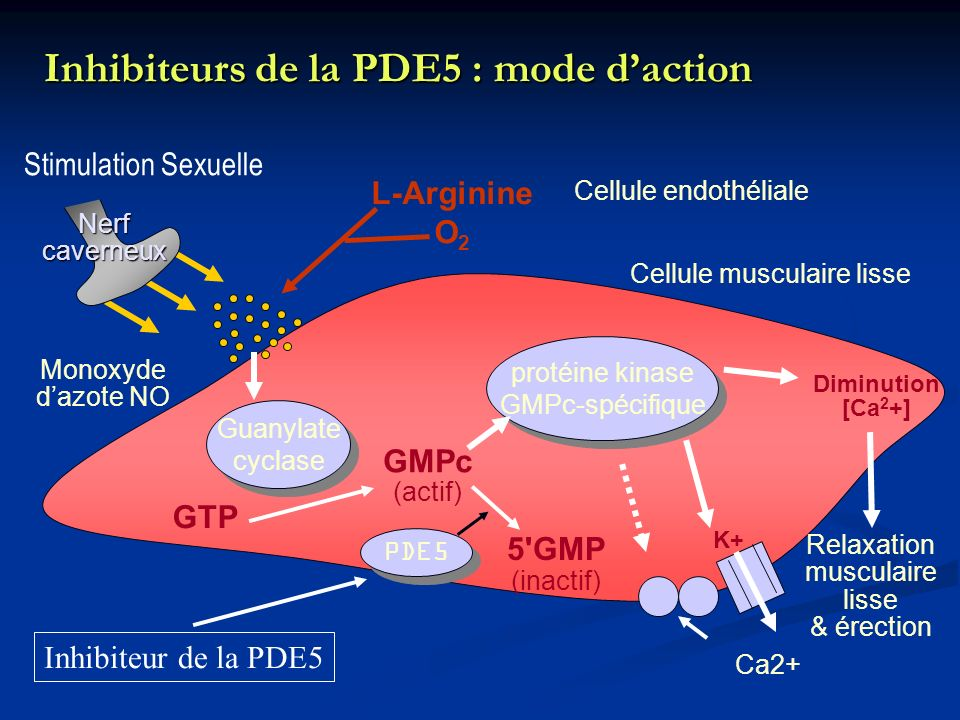 Inhibiteurs de la PDE5 : mode d'action